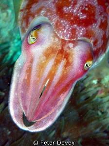 Inquisitive Cuttlefish. by Peter Davey